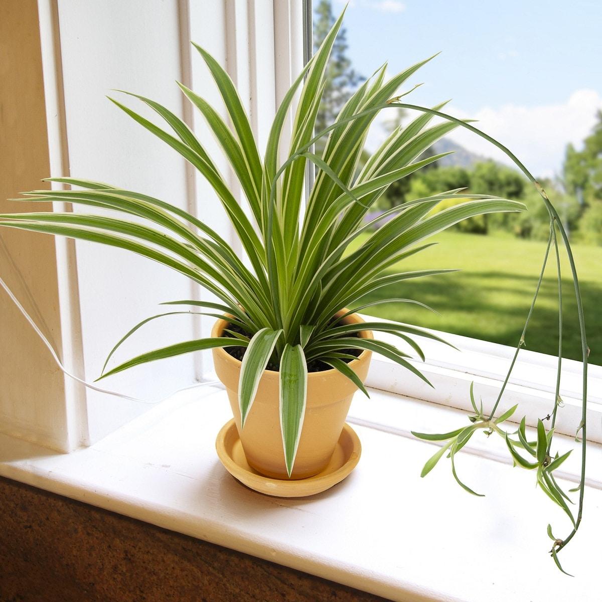 La planta mala madre es herbácea