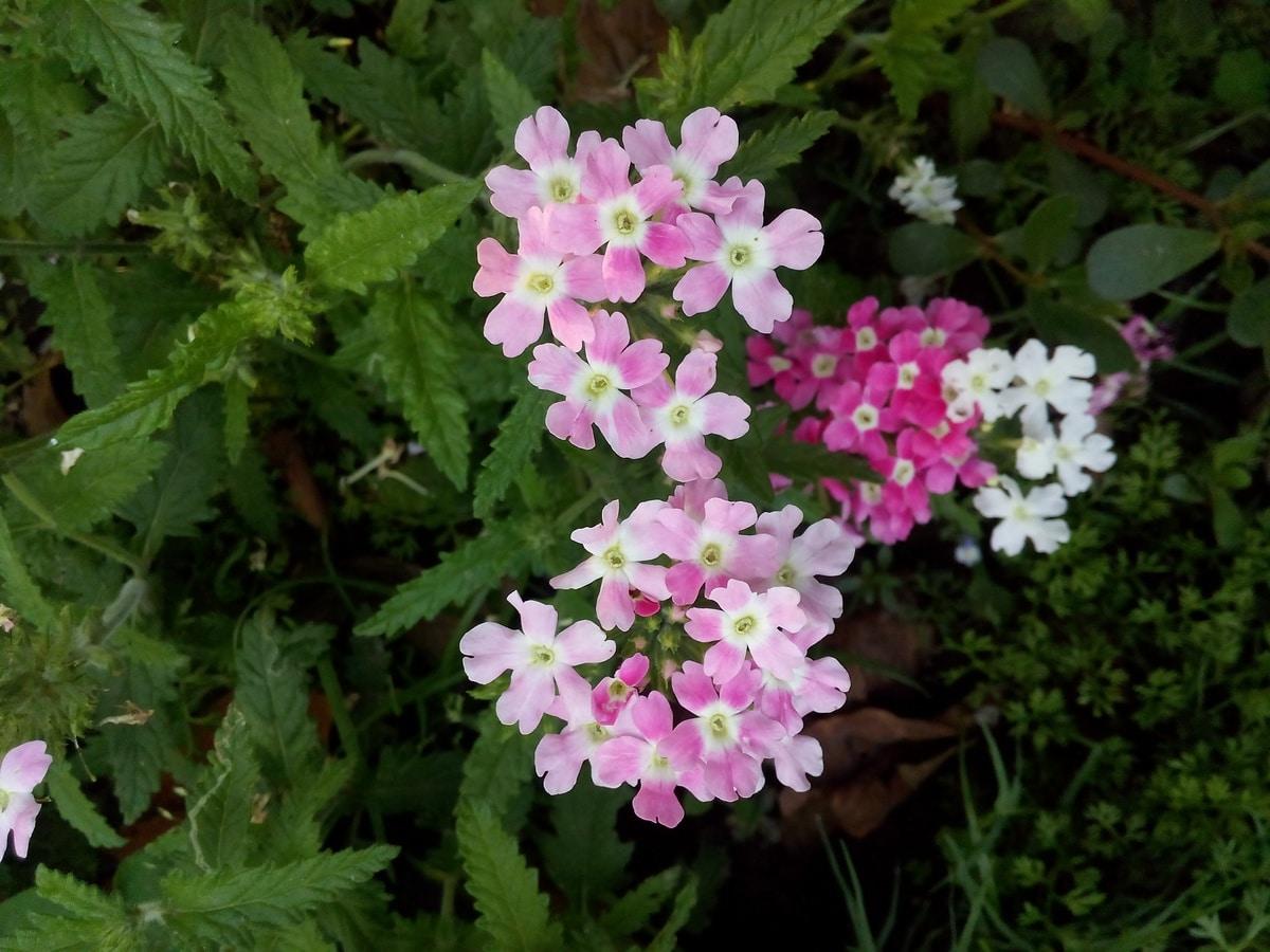 La verbena florece en primavera
