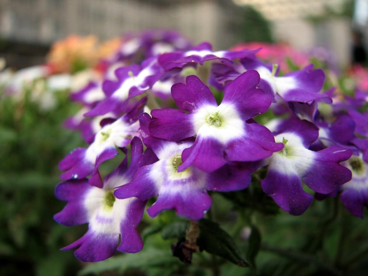 La verbena tiene flores pequeñas