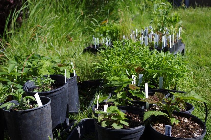 Plantas hortícolas en macetas antes de plantarlas en tierra