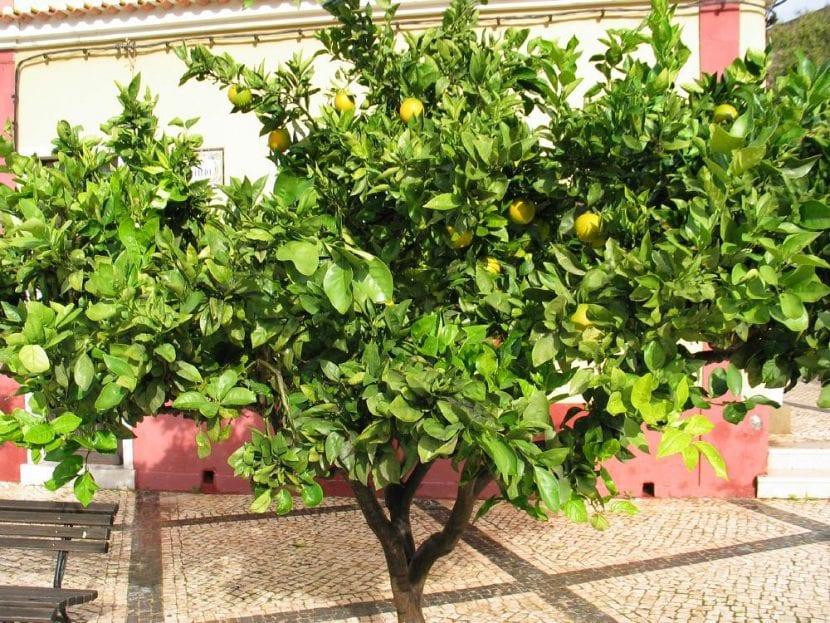 Árbol de pomelo en un patio, donde queda fenomenal