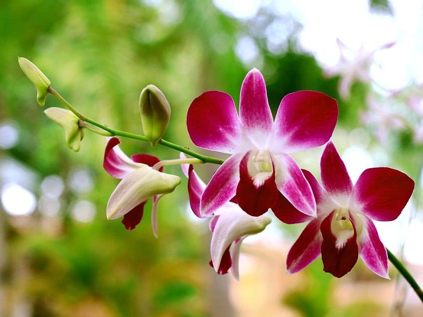 Enfermedades de la orquidea