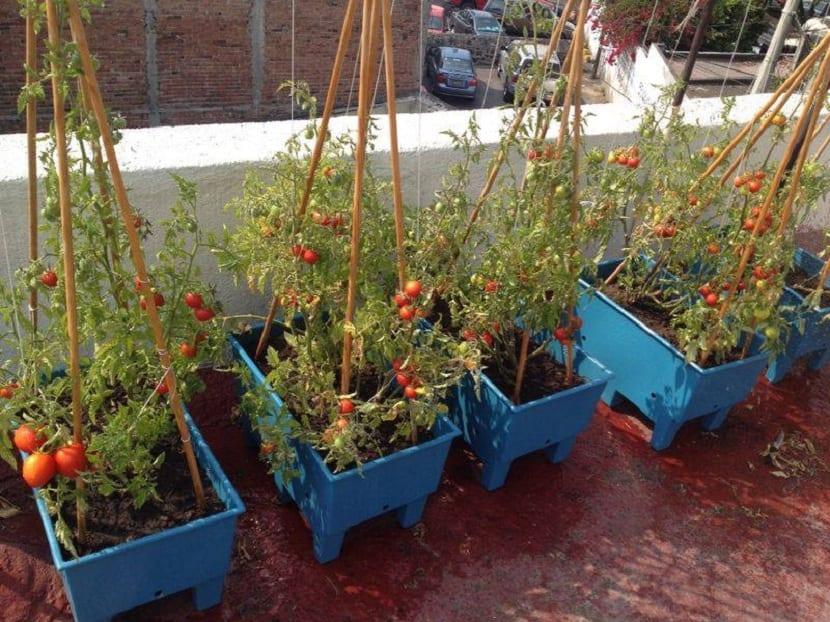 tomates sembrados