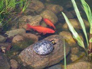 estanque de tortugas con peces
