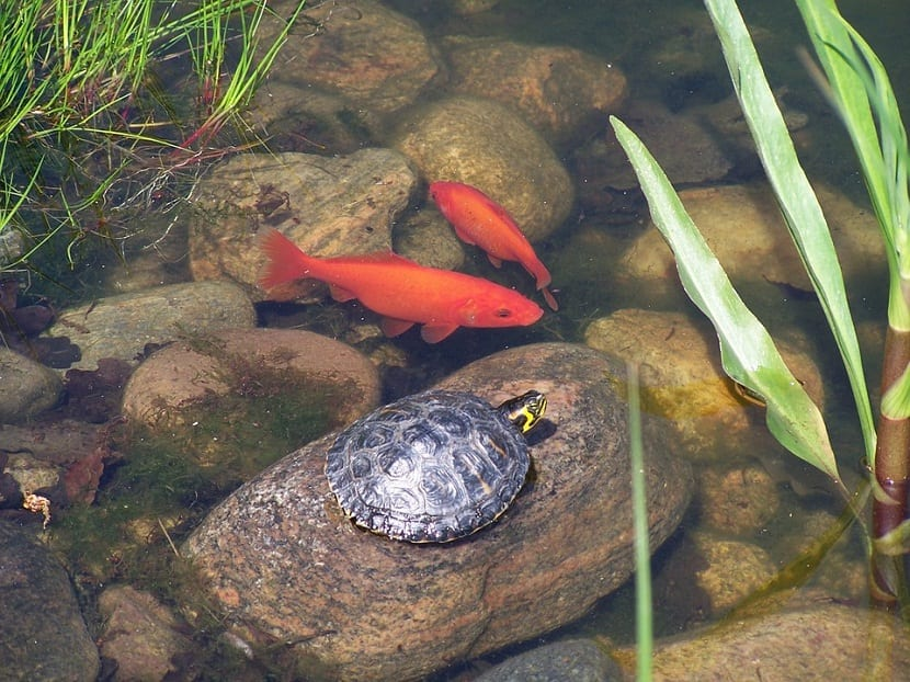 C mo elegir el mejor estanque para tortugas for Estanque de tortugas