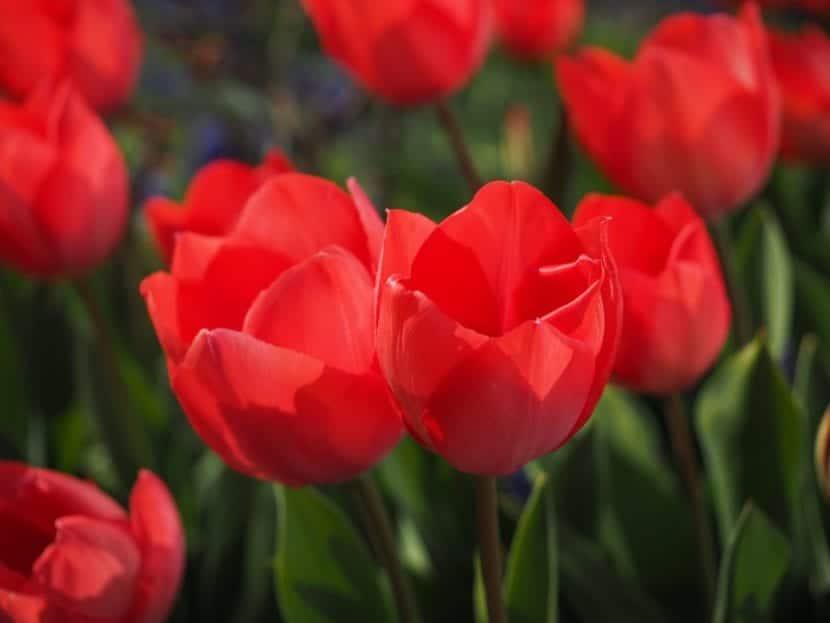 Los tulipanes pueden estar en maceta o en el jardín
