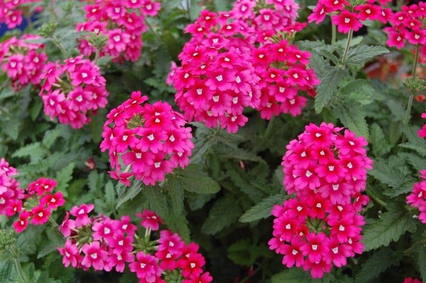 Caracter sticas y cuidados de la verbena for Plantas decorativas ornamentales