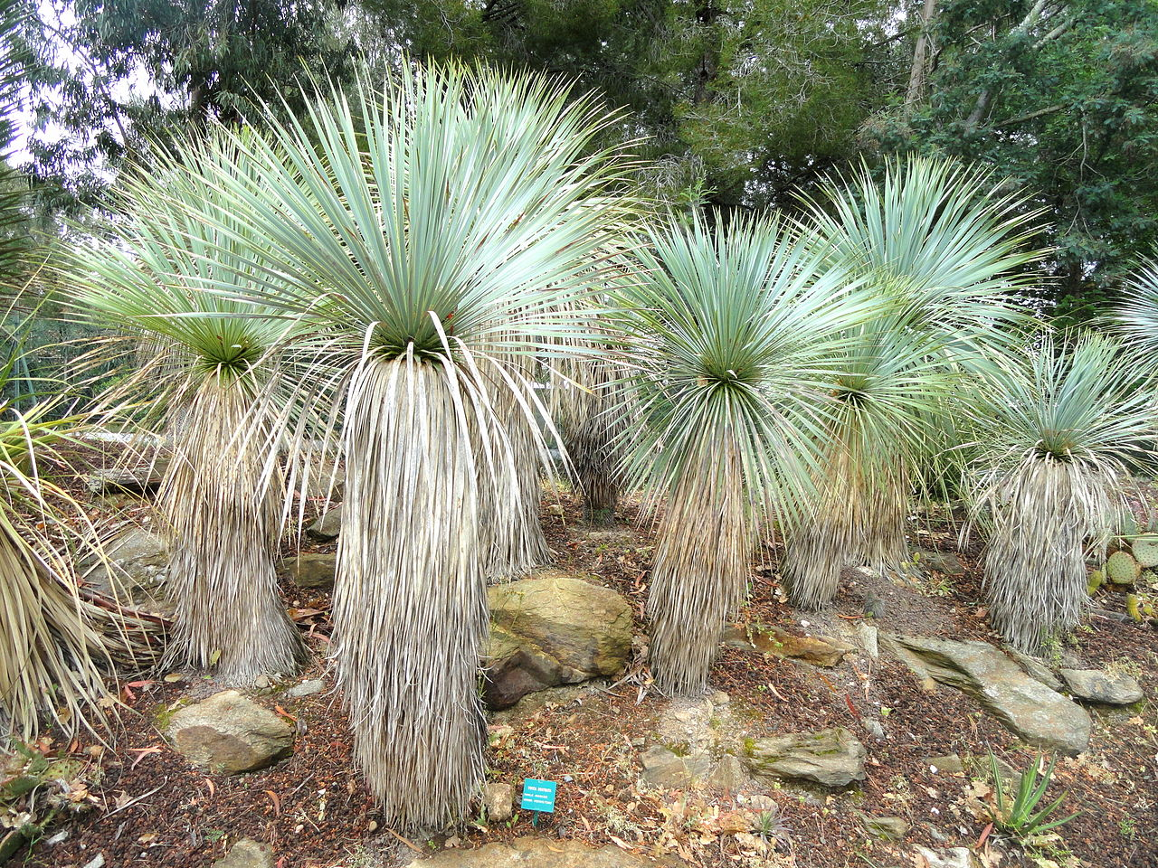 Vista de la Yucca rostrata en grupo
