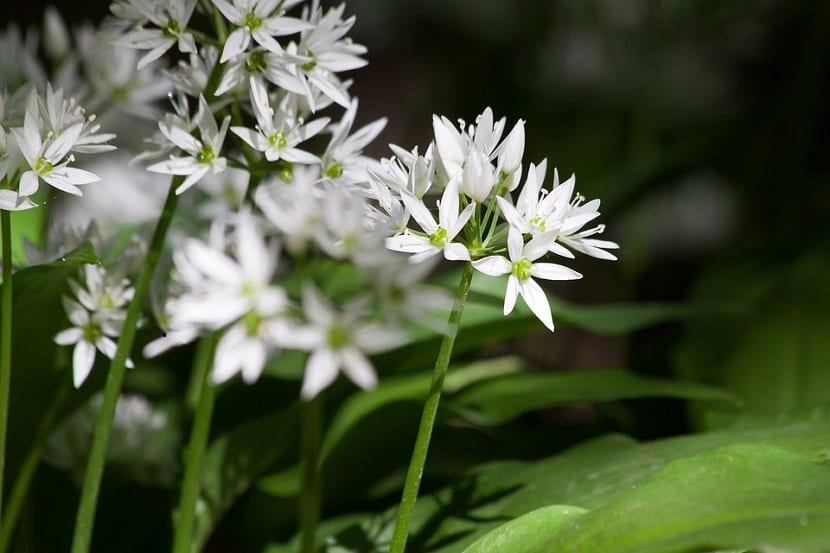 Descripción del Allium ursinumo ajo de oso
