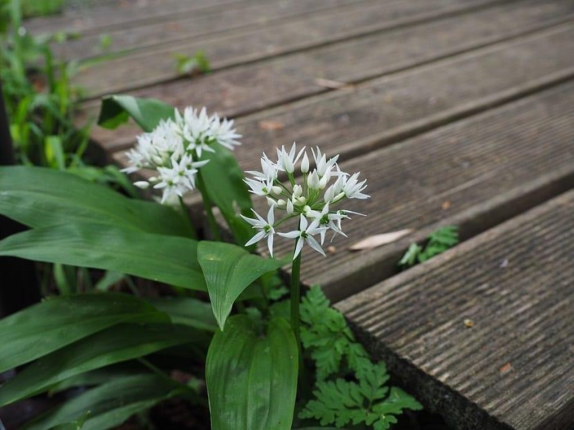 Uso del Allium ursinum
