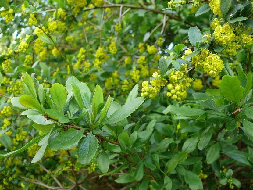 Vista de las preciosas hojas del Berberis vulgaris