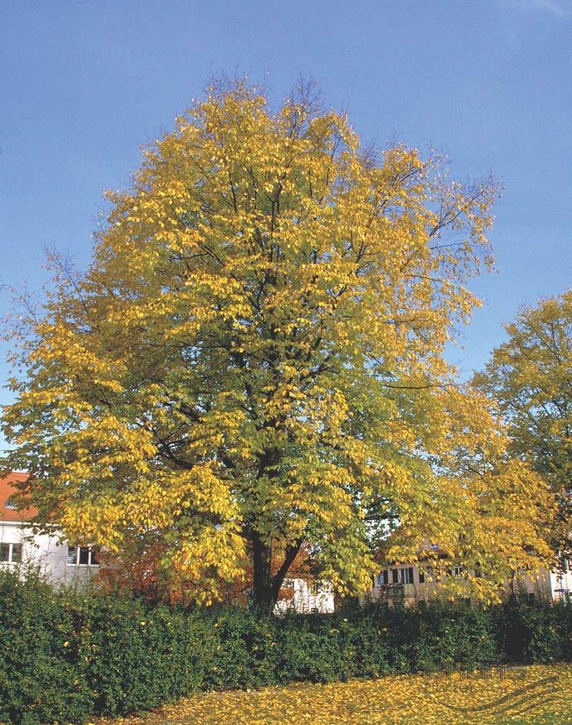 Carpinus betulus L