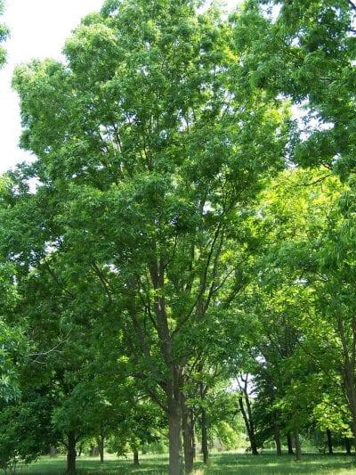 Árbol de Carya illinoinensis