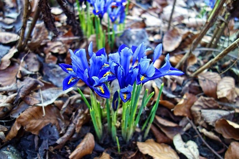 caracteristicas flor de iris