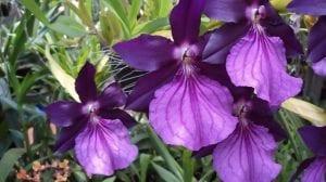 La orquídea Miltonia cuenta con un total de nueve especies
