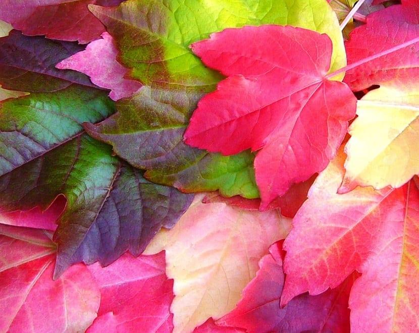 La parra virgen es un simbolo del otoño