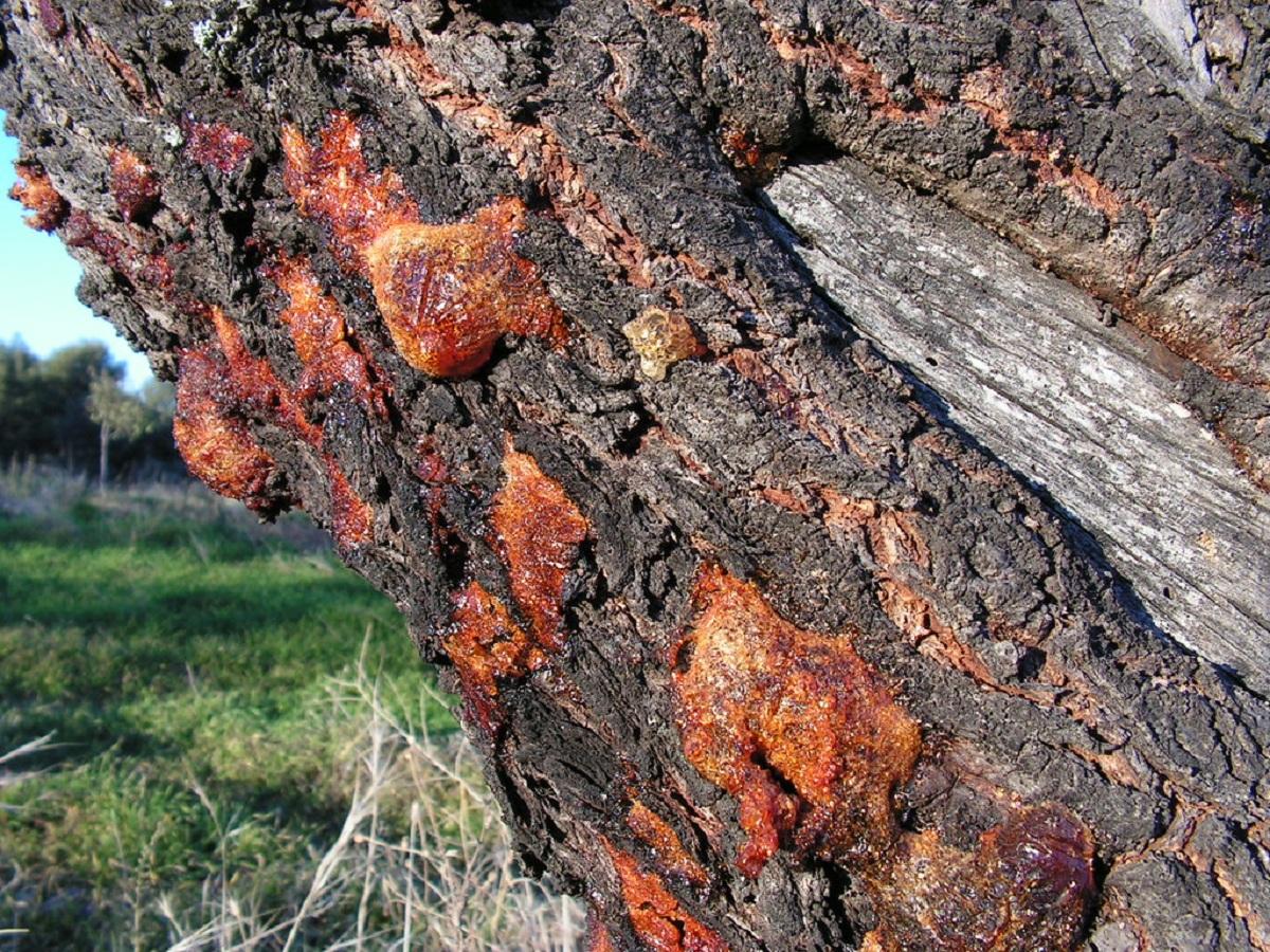 La gomosis puede afectar a cualquier árbol