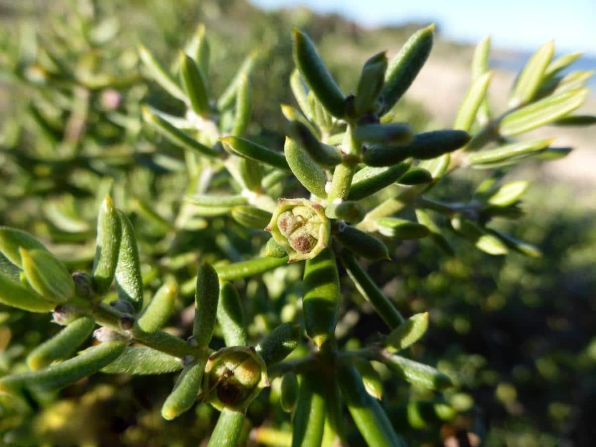 La Westringia es una planta que florece en primavera
