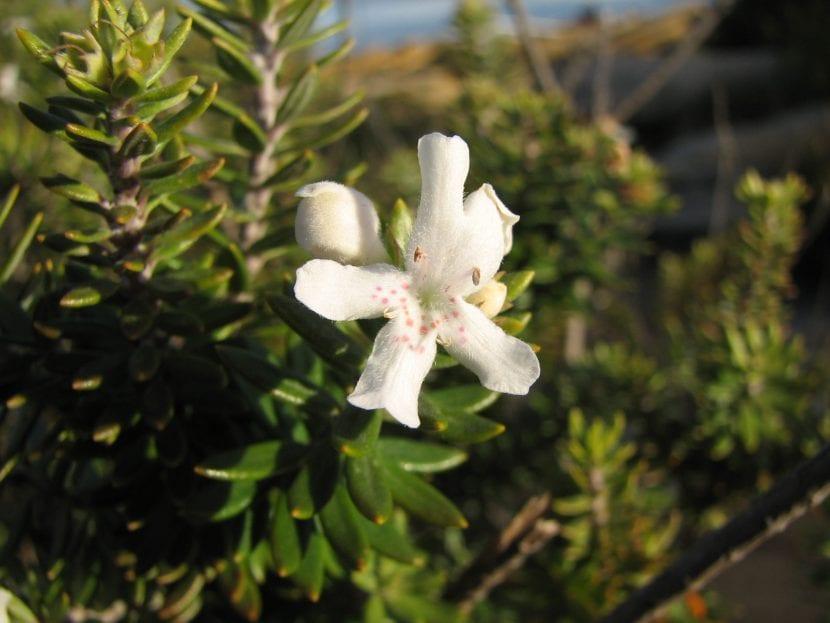 Westringia fruticosa en flor