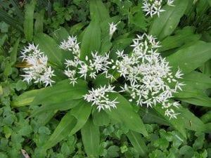 Allium ursinumo también llamado el ajo de oso