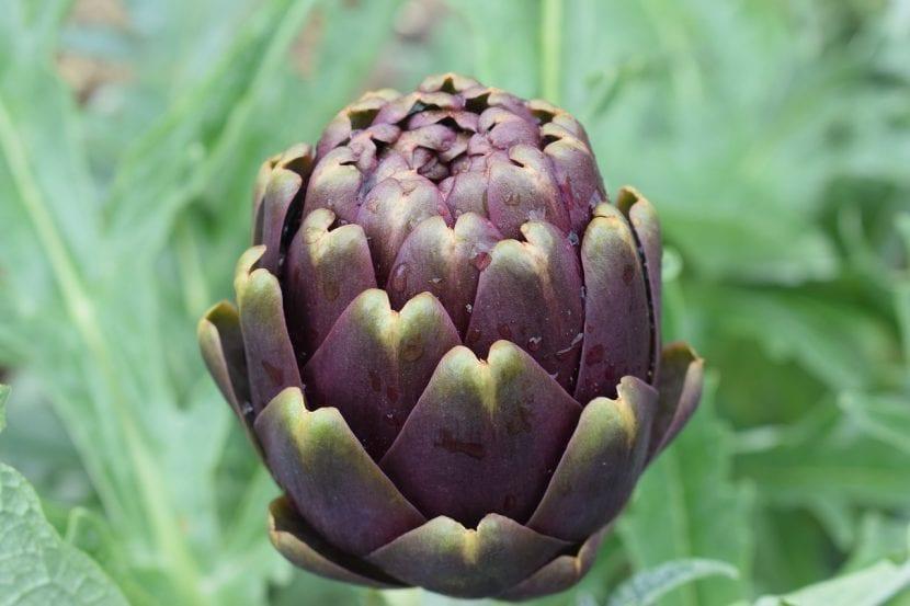 La alcachofa es una hortaliza fácil de cuidar