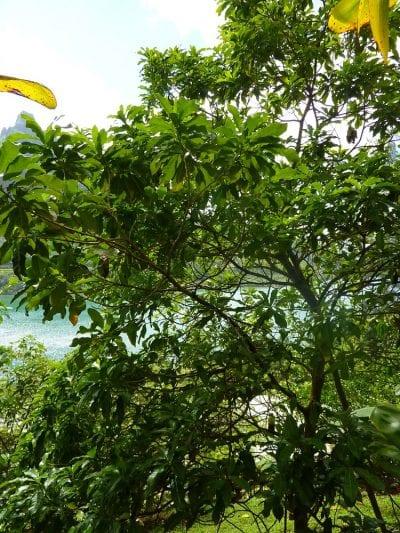 Caimito un frutal para jardines tropicales for Arbol para jardin