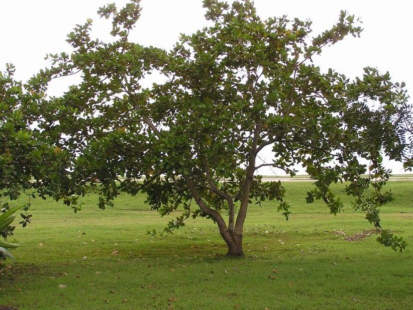 Árbol de cajuil