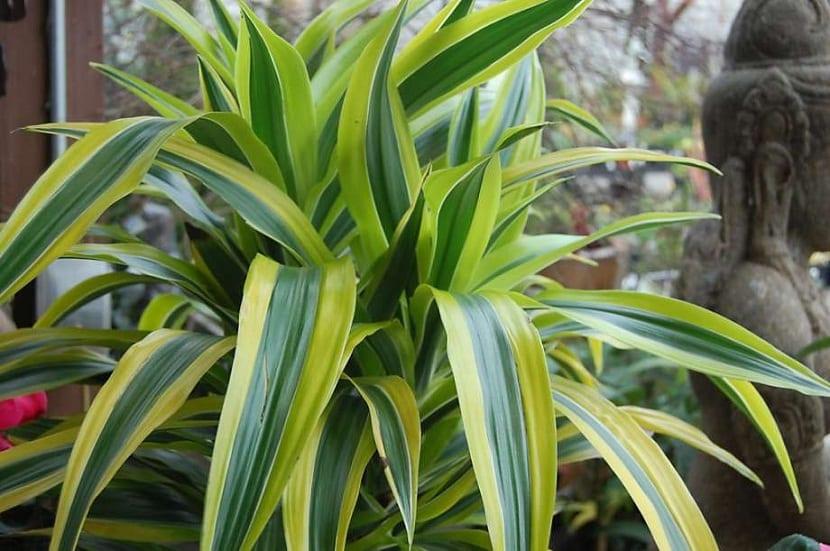 la Dracena Limon es una planta muy fácil de mantener