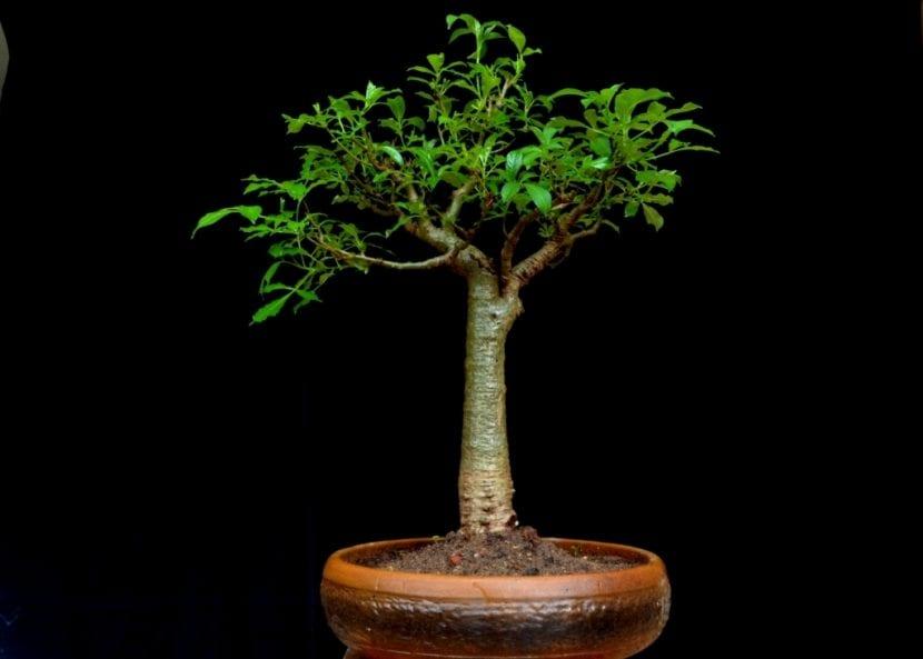 Bonsái de Baobab