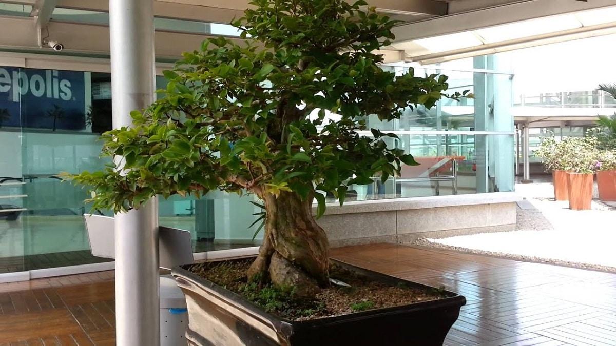 El bonsai de jaboticaba es tropical