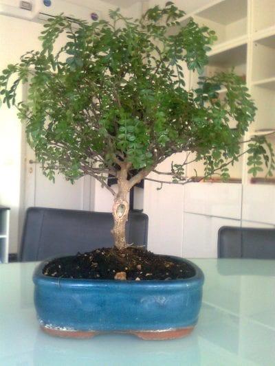 El falso pimentero se puede trabajar como bonsái
