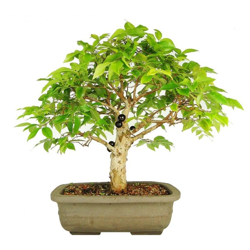 C mo cuidar un bons i de jaboticaba - Como cuidar un bonsai ...