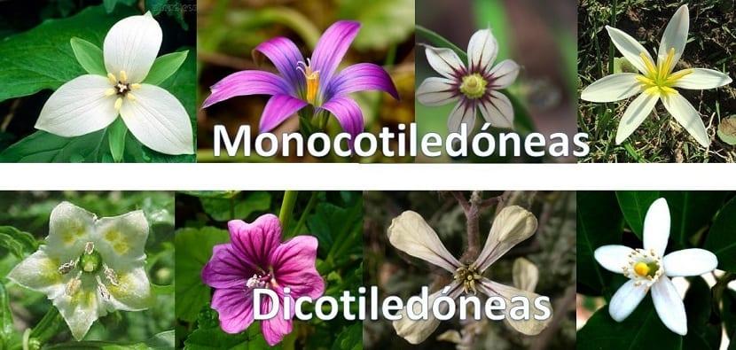 diferencia entre monocotiledoneas y dicotiledoneas
