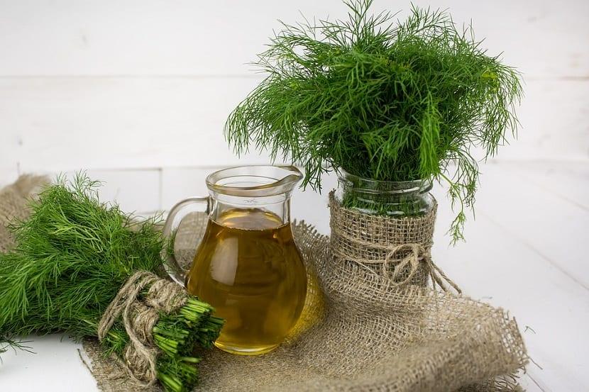 Al eneldo lo conocemos como una planta herbácea que se cultiva de manera anual
