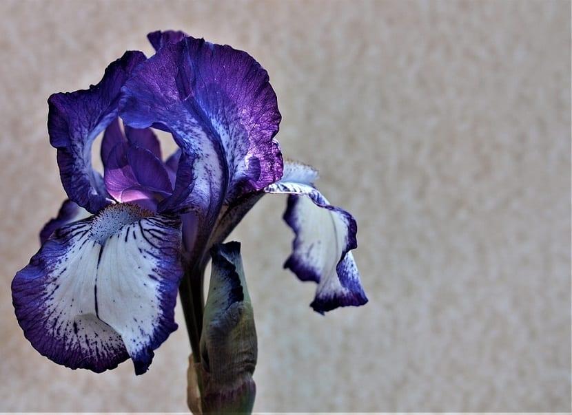 Diferentes tipos de Flor de iris