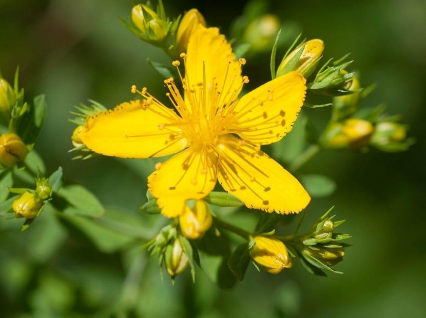 detalle de la flor del Hypericum perforatum