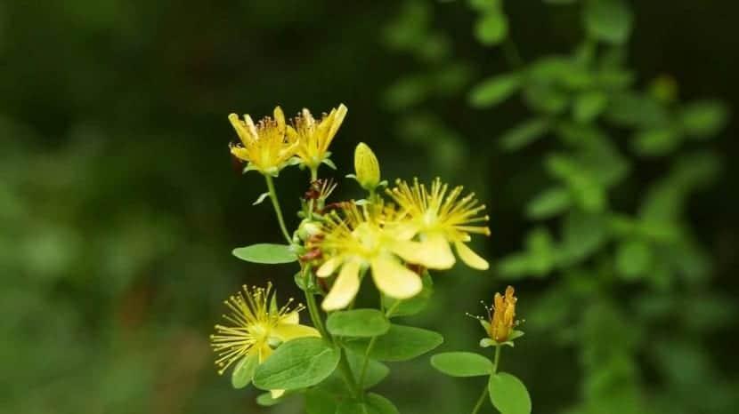 florecimiento del Hypericym perforatum