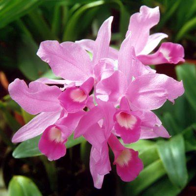 Vista de la flor de guaria