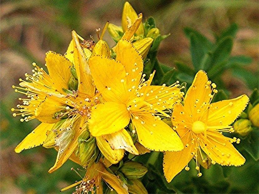 hierba de san juan saludable