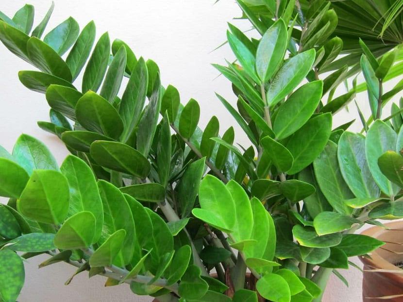La Zamioculca es una planta bastante resistente