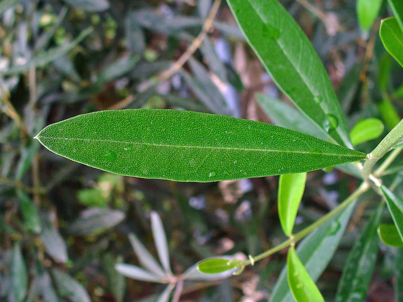 El olivo es un árbol perennifolio