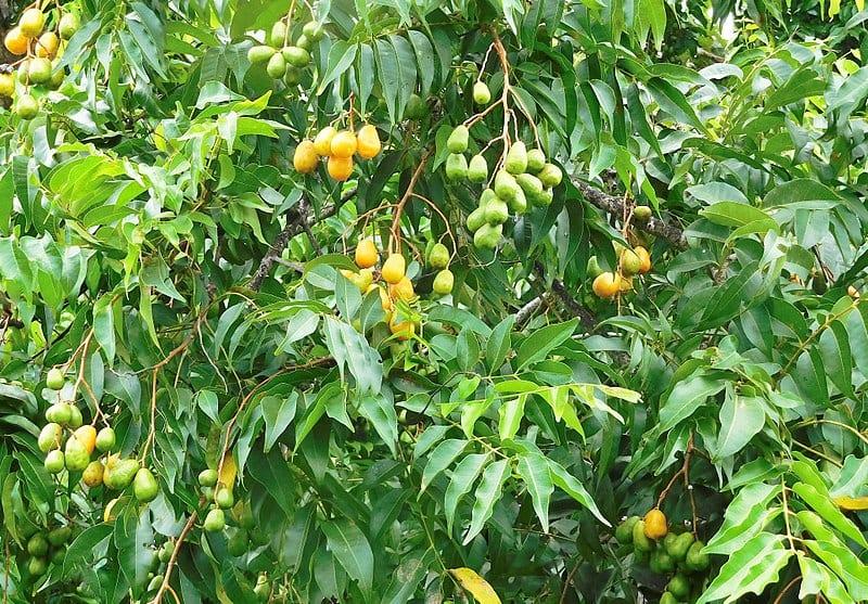 Vista de las hojas y frutos del jobo