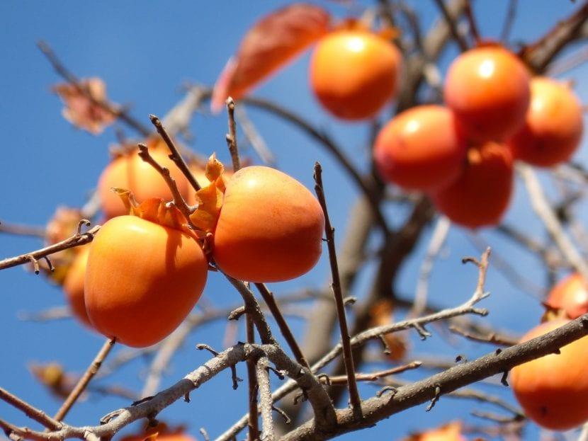 Frutos del caqui en el árbol