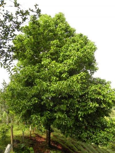 Árbol del marañón japonés