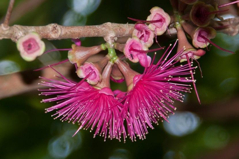 Flores del marañón japonés