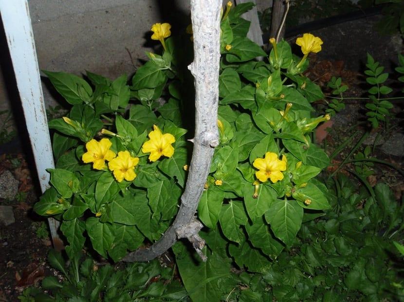 mirabilis jalapa por de noche con sus flores abiertas
