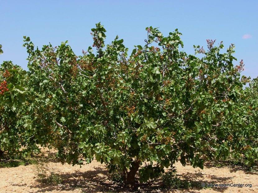 Árbol de los pistachos