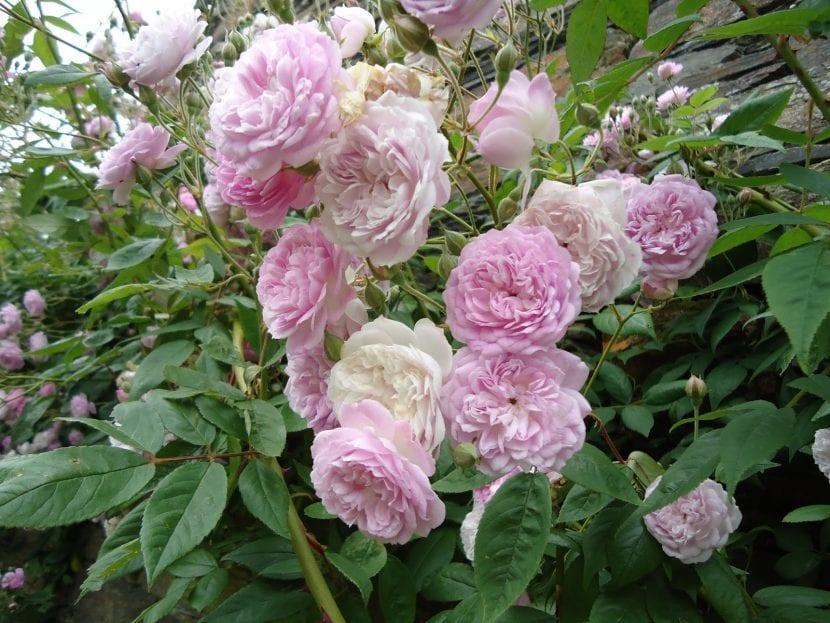 El rosal de pitiminí es fruto de una mutación de enanismo