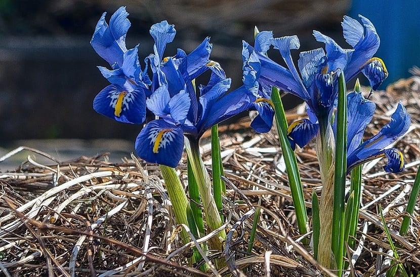 La flor de Iris proviene de la familia de las iridáceas, su nombre científico es Iris Germánica