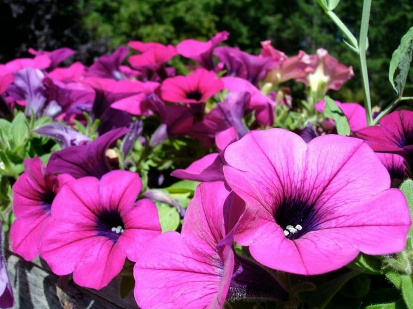 plantas resistenes, petunias